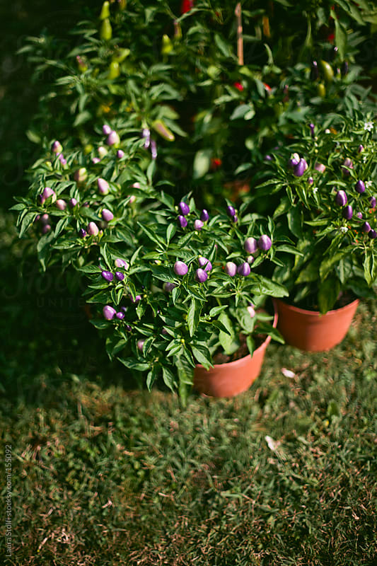 Purple peppers plants by Laura Stolfi for Stocksy United