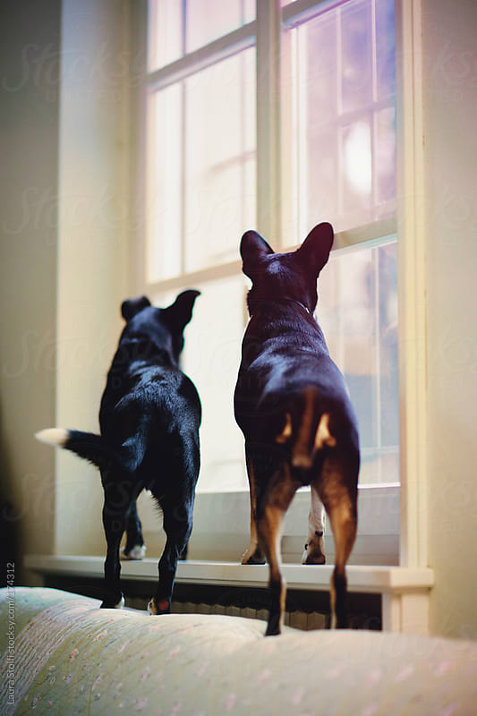 The House Keepers: dogs looking out of window by Laura Stolfi for Stocksy United