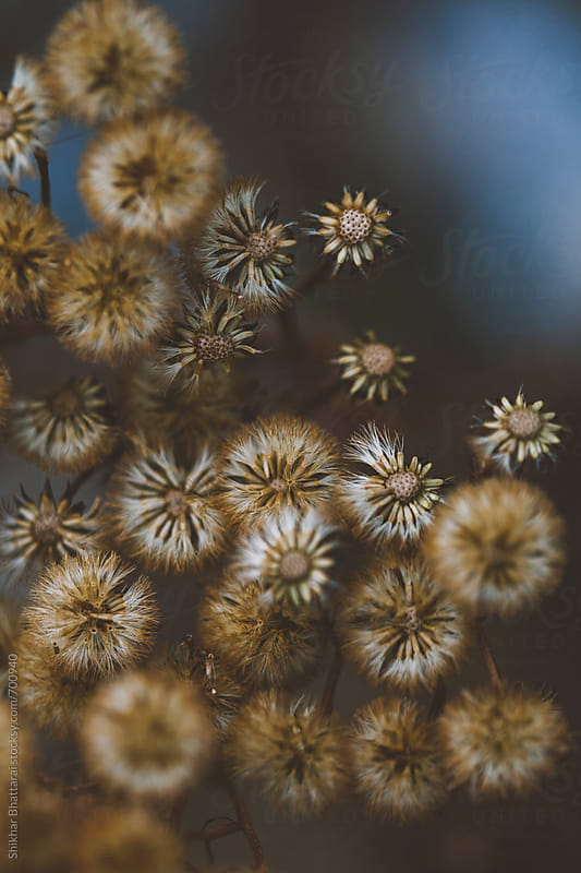 Dried flowers as winter sets in. by Shikhar Bhattarai for Stocksy United