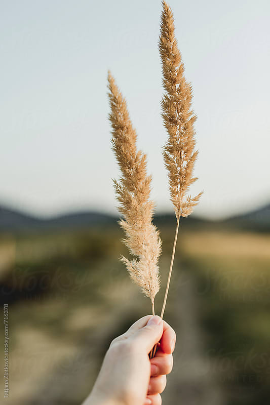 Hand holding wild grass by Tatjana Zlatkovic for Stocksy United