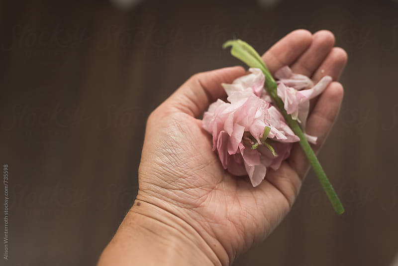A Crushed Ranunculus Flower Held In The Palm Of Your Hand by Alison Winterroth for Stocksy United