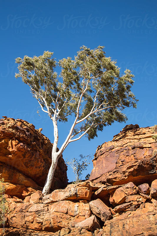 Gum tree growing in sandstone rocks. Australia. by John White for Stocksy United