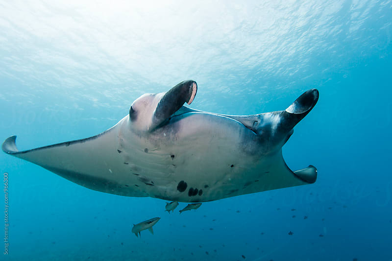 scuba diving with manta ray by Song Heming for Stocksy United
