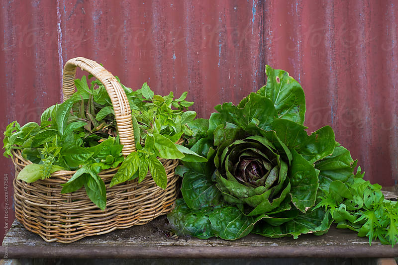 Lettuce and Mint Harvest by Rowena Naylor for Stocksy United