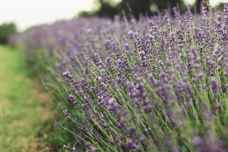 Lavender by Kitty Kleyn for Stocksy United