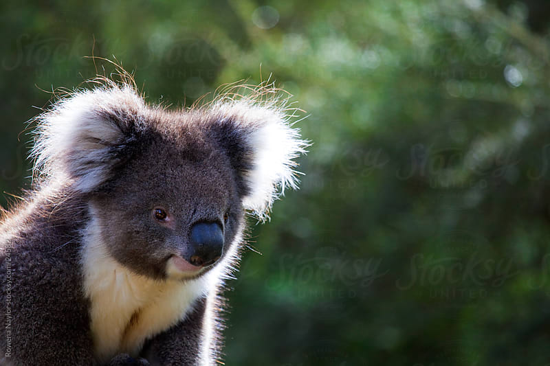 Australian Koala in Natural habitat by Rowena Naylor for Stocksy United