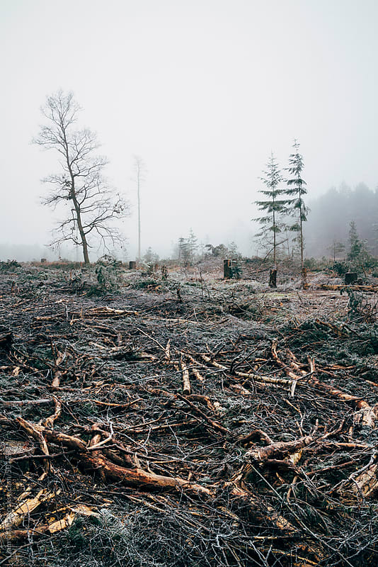 Fog and frost in a recently felled section of forest. by Liam Grant for Stocksy United