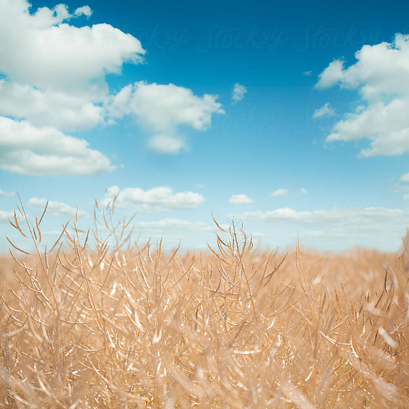 Grain Field Against Blue Sky by Mosuno for Stocksy United