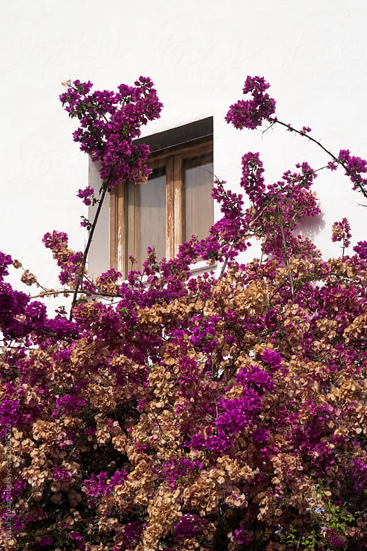 Bougainvilleas on the white walls of Cabo de Gata, Andalusia, Spain by Bisual Studio for Stocksy United