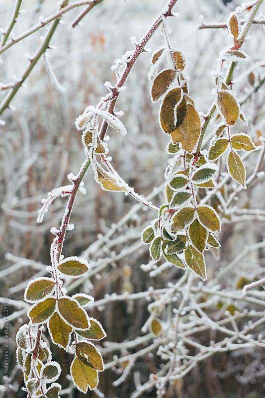 Frozen nature in winter by Robert Kohlhuber for Stocksy United