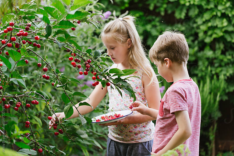 Children putting cherries onto a plate after picking by Kirsty Begg for Stocksy United