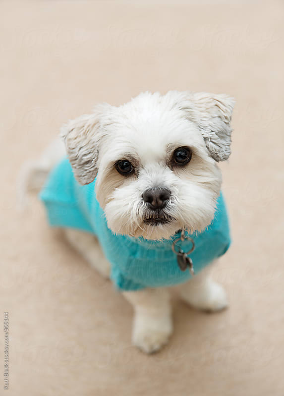 Lhasa apso in a dog sweater by Ruth Black for Stocksy United