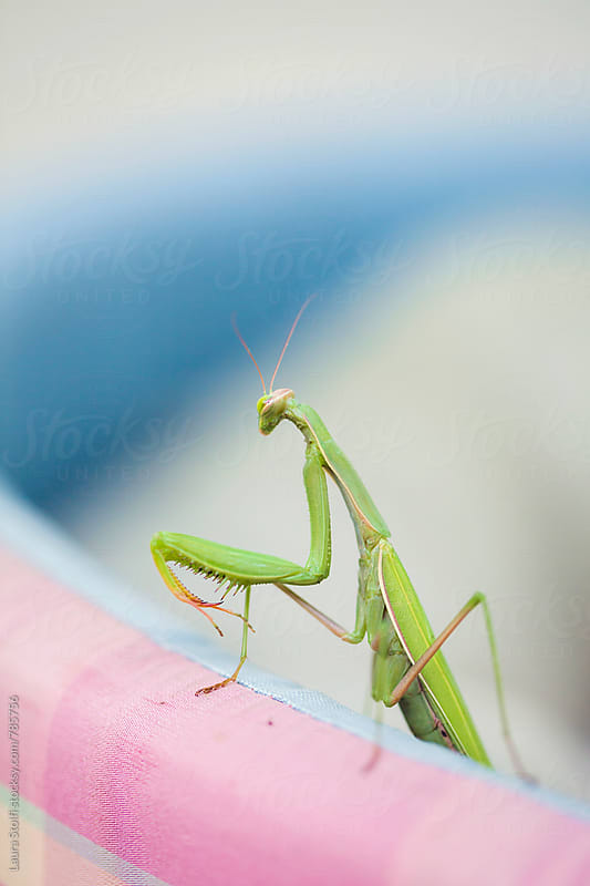 Macro of Mantis standing on kennel by Laura Stolfi for Stocksy United