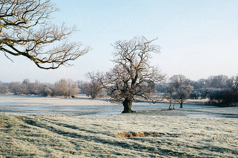 Trees in a frost covered field at sunrise. Norfolk, UK. by Liam Grant for Stocksy United