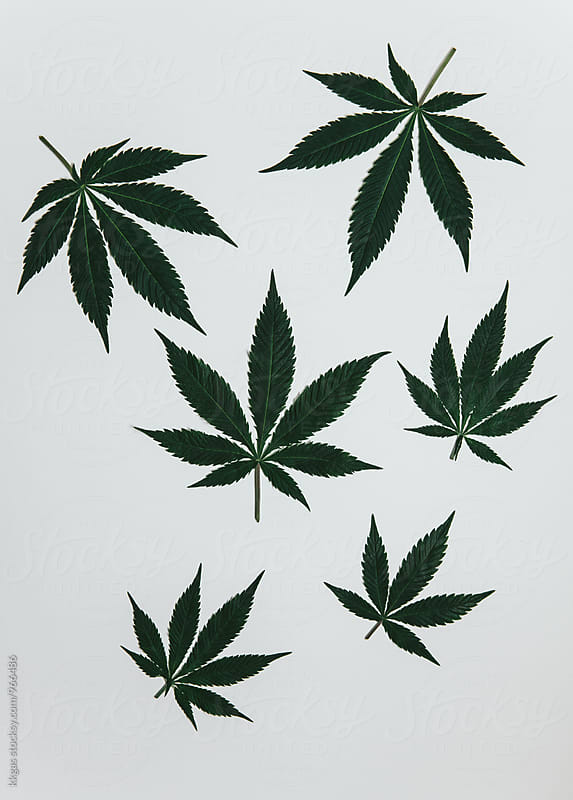 Marijuana leaves on a neutral white background by kkgas for Stocksy United