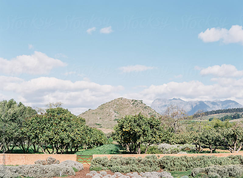 Stellenbosch Wine Country South Africa  by Vicki Grafton Photography for Stocksy United