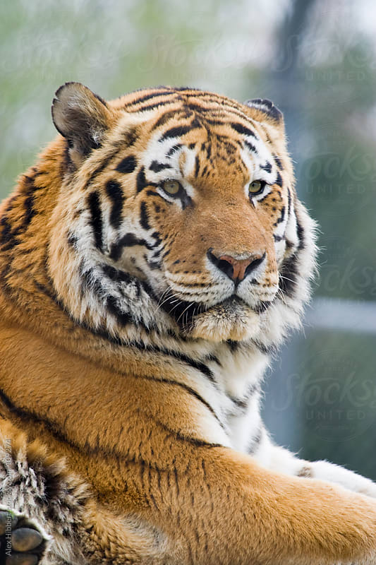 Amur Tiger by Alex Hibbert for Stocksy United