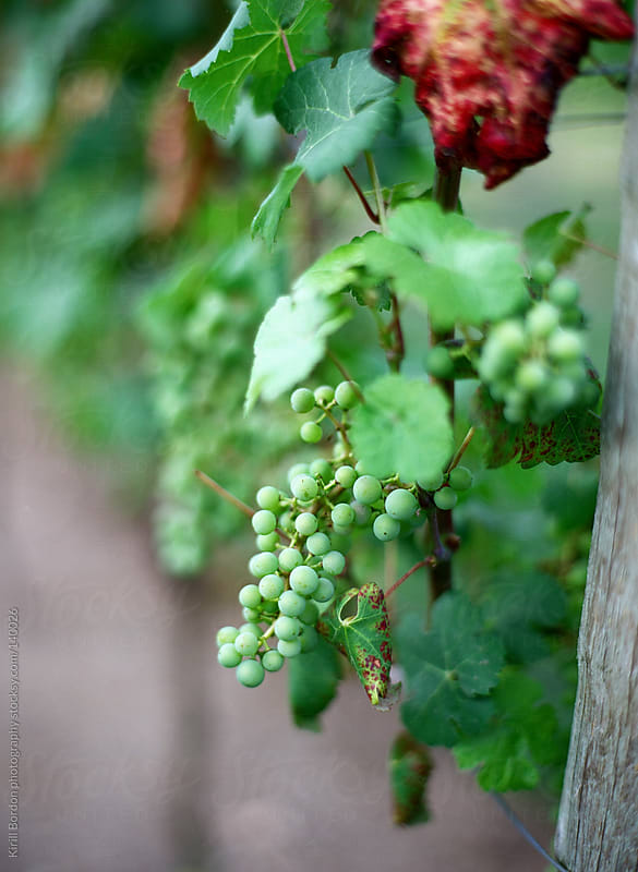 grapes by Kirill Bordon photography for Stocksy United