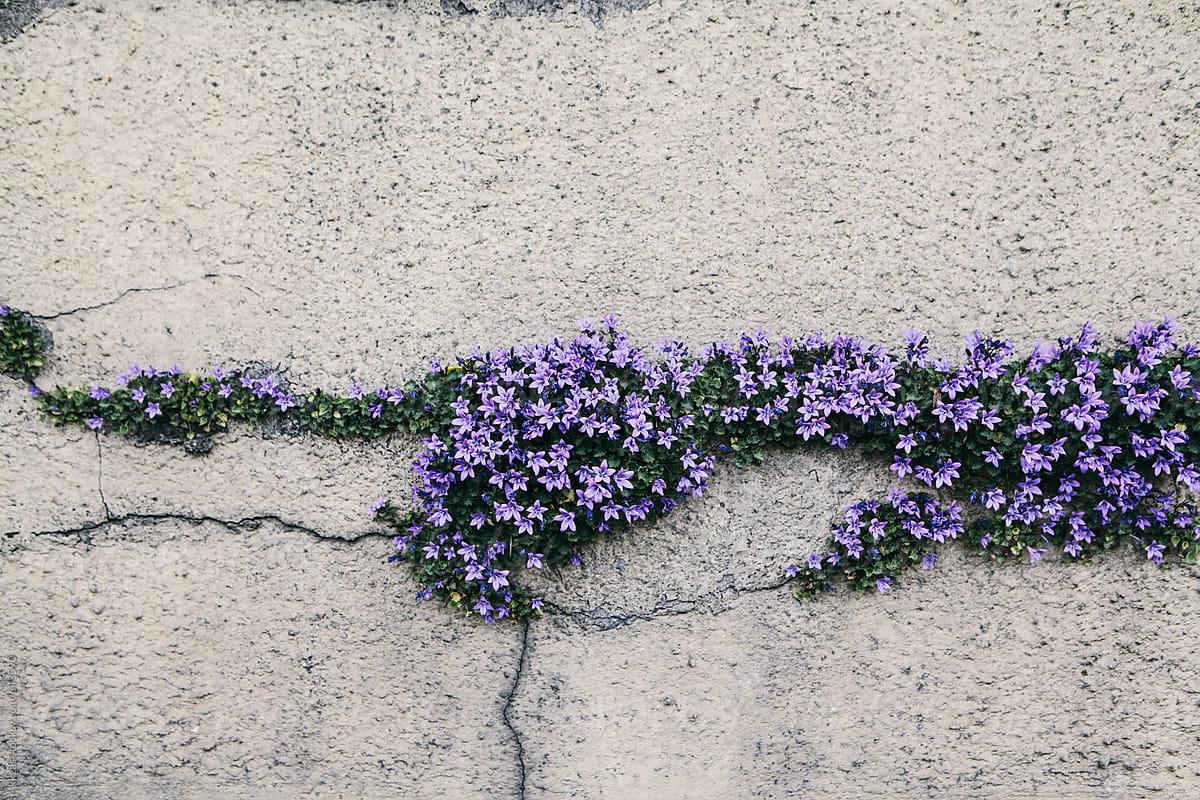 Pretty purple flower growing through the cracks in a wall stocksy pretty purple flower growing through the cracks in a wall by kkgas for stocksy united mightylinksfo