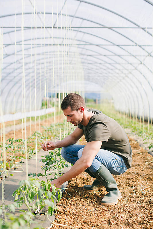 Man gardening organic vegetables in a greenhouse. by BONNINSTUDIO for Stocksy United
