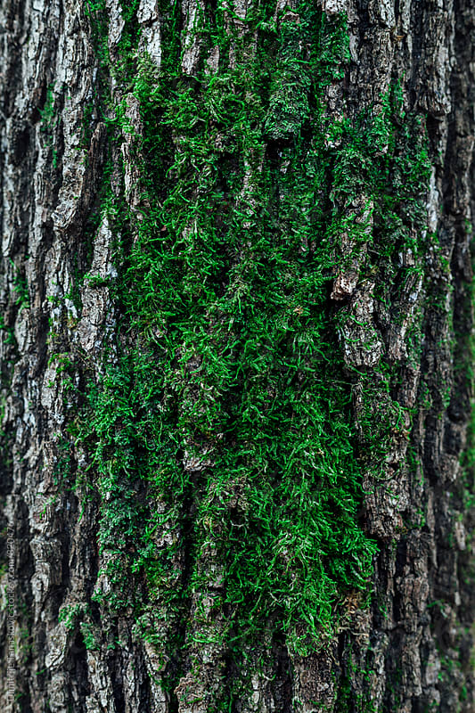 Green moss on the tree trunk by Dimitrije Tanaskovic for Stocksy United