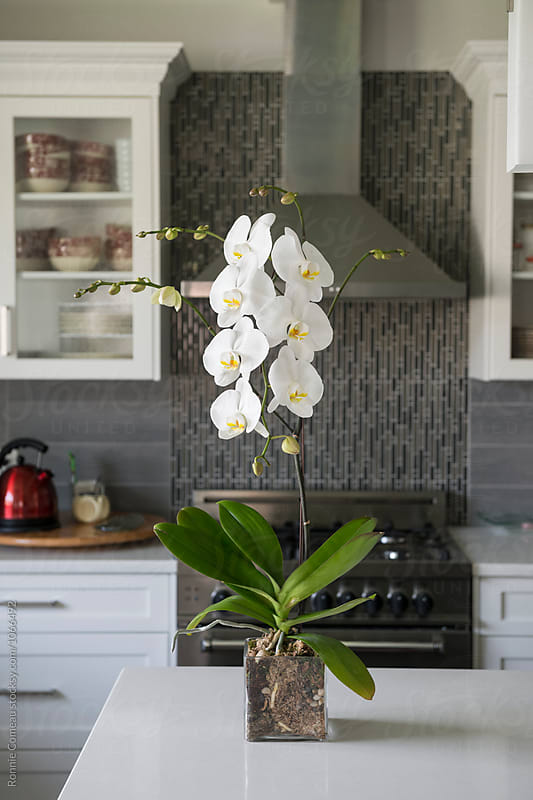 Orchid on Kitchen Island by Ronnie Comeau for Stocksy United