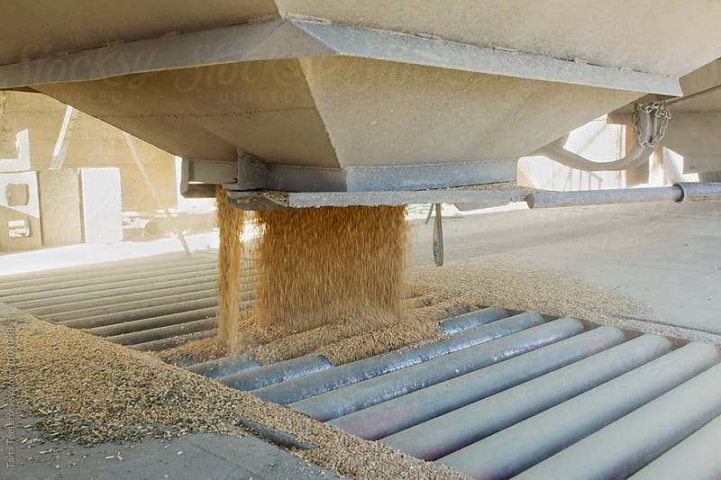 wheat grain spills into grain elevator hopper by Tana Teel for Stocksy United