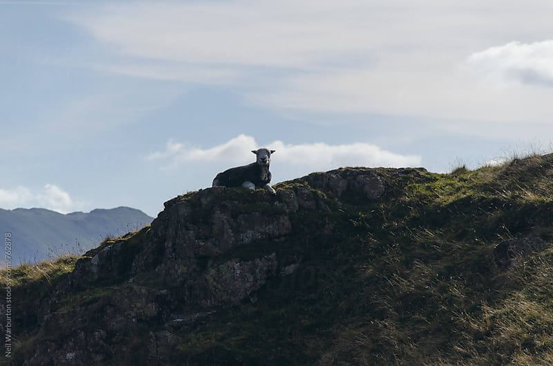 Sheep grazing in the mountains by Neil Warburton for Stocksy United