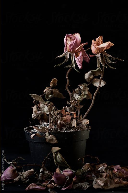 Pot with dried, dead pink roses before balck background by Melanie Kintz for Stocksy United