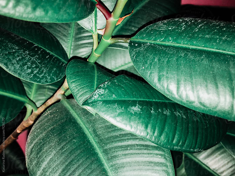 Vibrant Ficus Plant Leafs by Katarina Radovic for Stocksy United