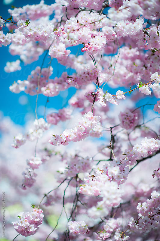 pink cherry blossom  by Peter Wey for Stocksy United