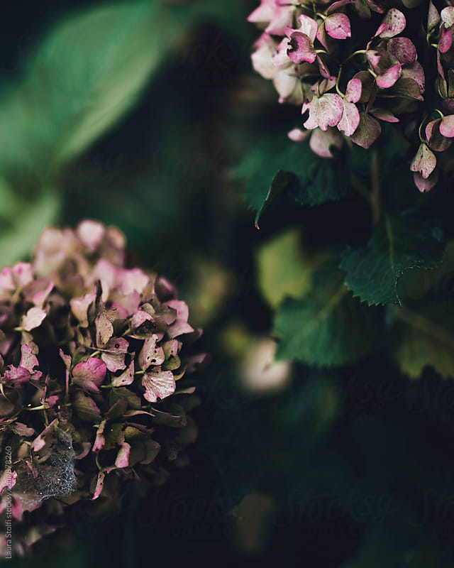 Pink hydrangea flowers decline by Laura Stolfi for Stocksy United