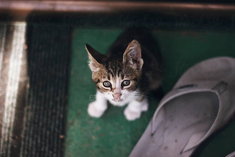 Little baby cat looking at camera by Jovana Rikalo for Stocksy United
