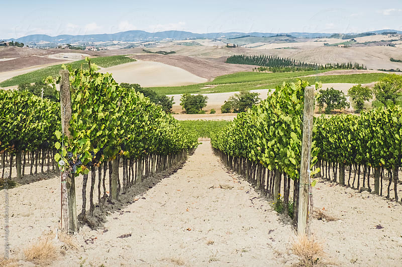 Rows of a Vineyard in the Val d'Orcia of Tuscany, Italy by Giorgio Magini for Stocksy United