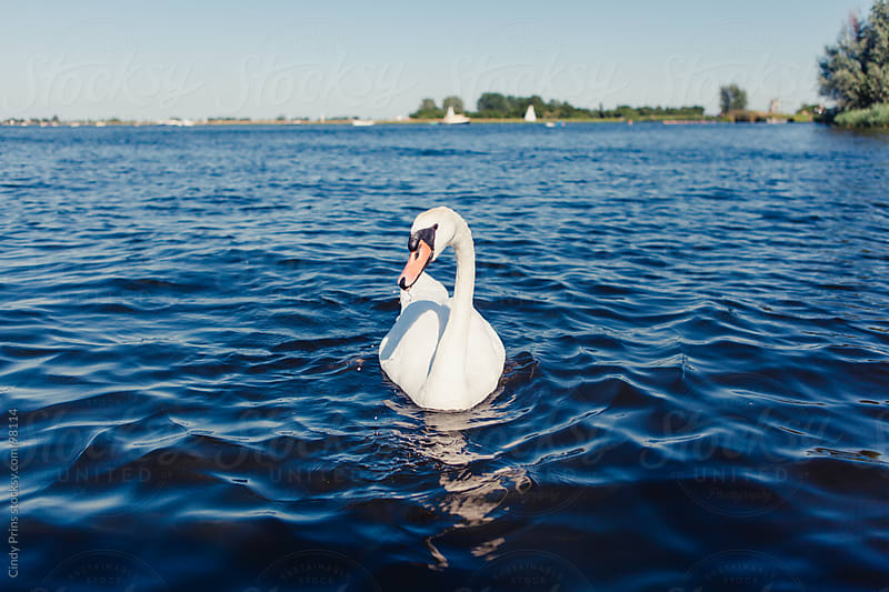 A white swan swimming in the blue water of a lake in the Netherlands by Cindy Prins for Stocksy United