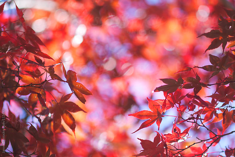 Red Autumn Leaves by Jason Hill for Stocksy United