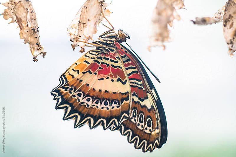 Malachite Butterfly (lat. Siproeta stelenes) by Peter Wey for Stocksy United