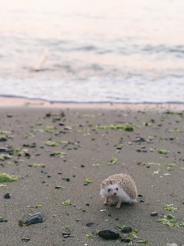 Hedgehog by the beach by Sophia Hsin for Stocksy United