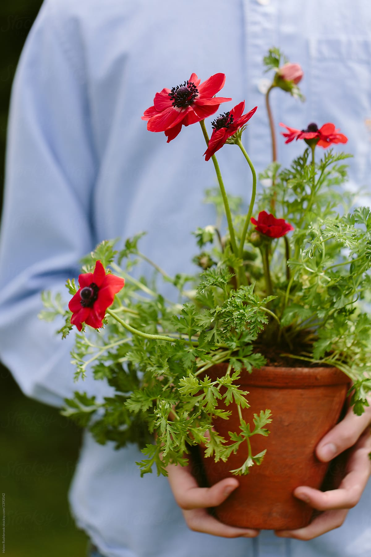 Hands holding a red anemone flower in a clay pot. by Helen Rushbrook for Stocksy