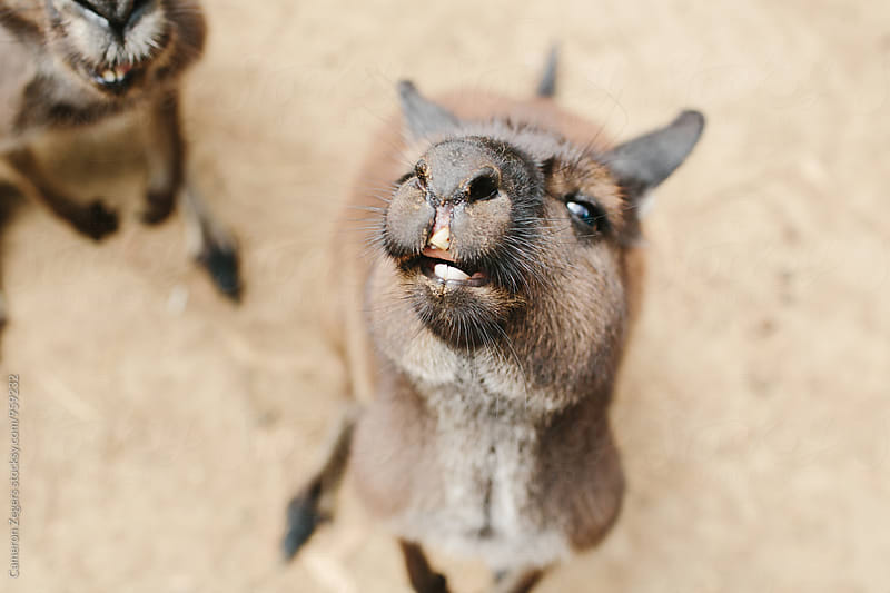 close-up of kangaroos looking at camera by Cameron Zegers for Stocksy United