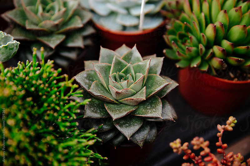 Closeup of succulent by Andrey Pavlov for Stocksy United