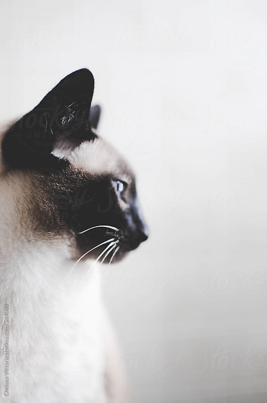 Profile of a Siamese Cat by Chelsea Victoria for Stocksy United