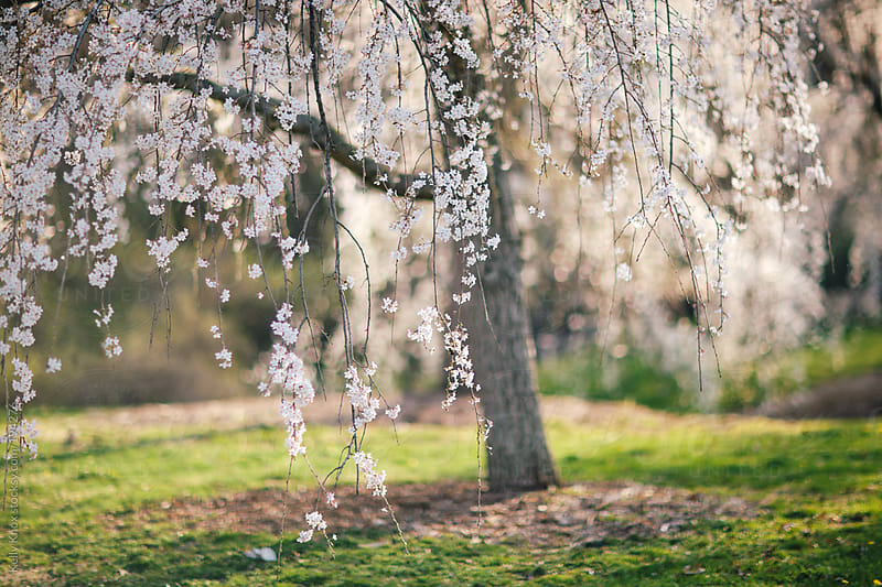 weeping cherry tree by Kelly Knox for Stocksy United