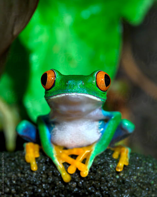 Red Eyed Tree Frog on a Vine in the Rainforest by Brandon Alms for Stocksy United
