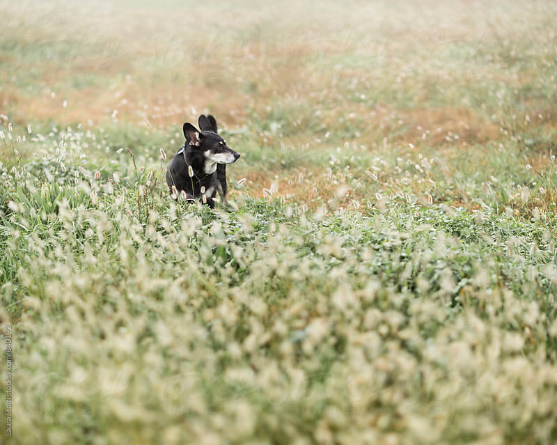 Black dog walks amongst wild grass and spikes in meadow by Laura Stolfi for Stocksy United