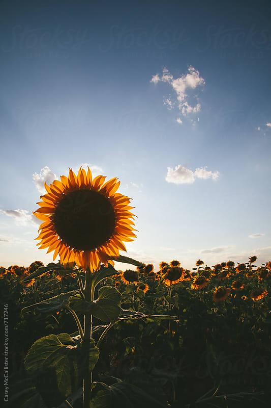 Single Sunflower by Casey McCallister for Stocksy United