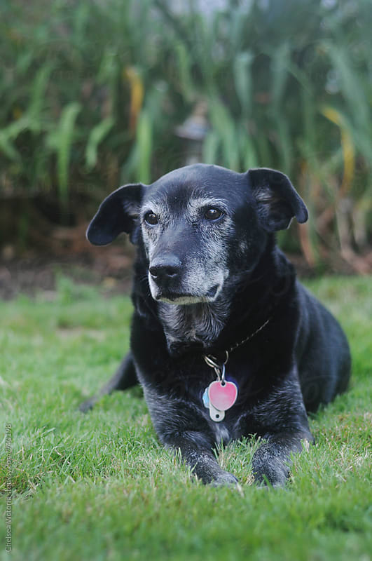 An old black lab mix dog by Chelsea Victoria for Stocksy United