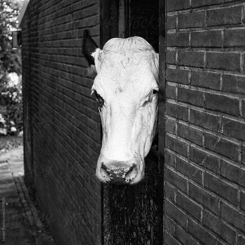 Cow looking out of  barn by Marcel for Stocksy United