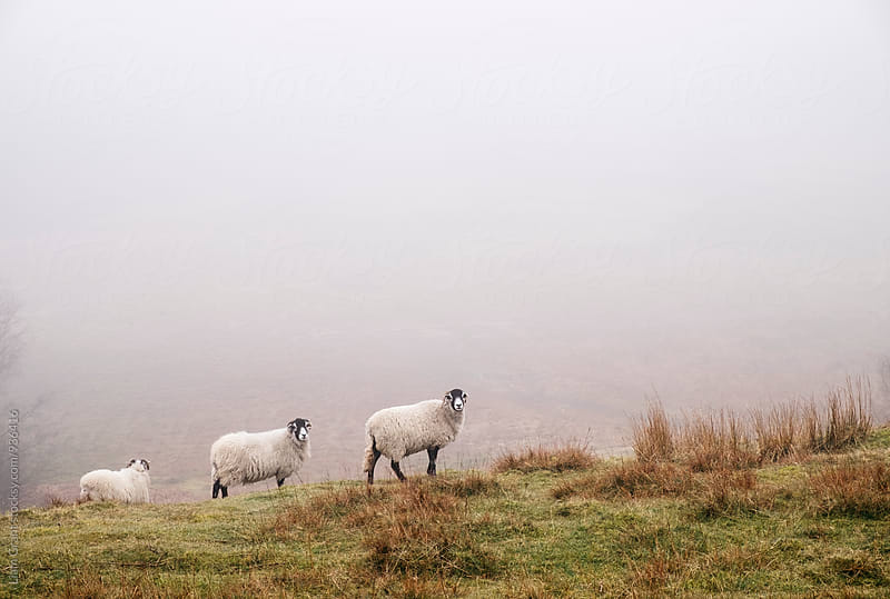 Sheep in fog on a hillside. Derbyshire, UK. by Liam Grant for Stocksy United