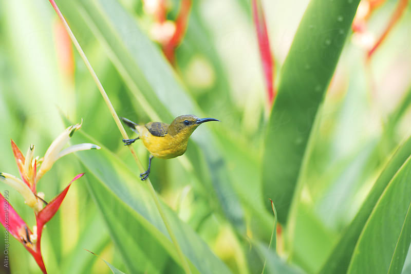 Olive-backed sunbird ready to fly by Alita Ong for Stocksy United